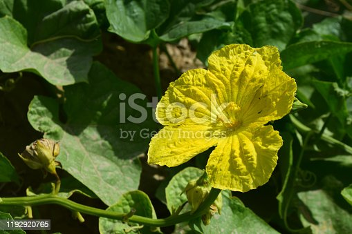 close up of vegetable yellow Zucchini in green background garden outside nature photography