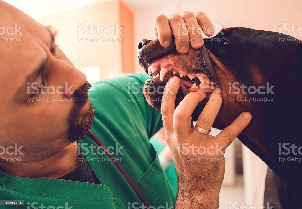 Primer plano de un examen veterinario diente de perro negro. - foto de stock