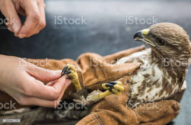 Close up of veterinarian having a medical exam on a falcon at animal picture id951028608?b=1&k=6&m=951028608&s=612x612&h=vs4bcoh zfnhfbdzd4lp6azfpinlkcrw517oars93x8=