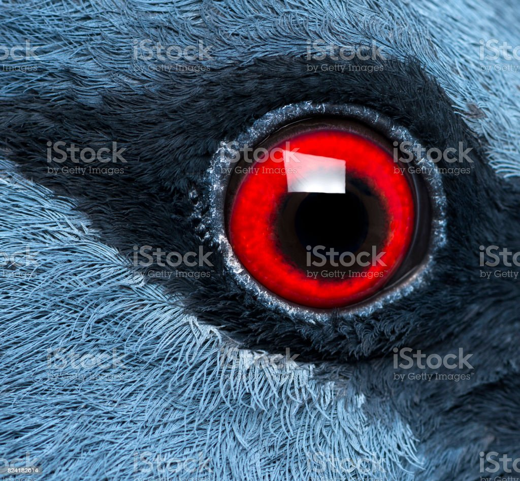 Close up of Victoria Crowned Pigeon's eye - Goura victoria stock photo