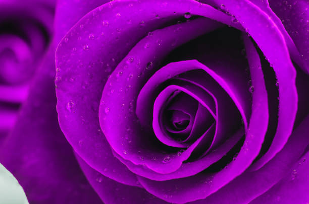 Close up of violet rose flower with water drops stock photo