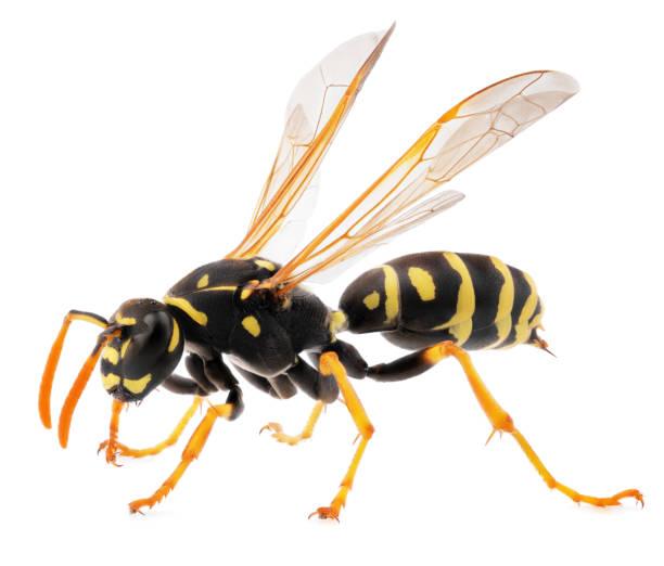 close up van wasp geïsoleerd op witte achtergrond - stekels stockfoto's en -beelden