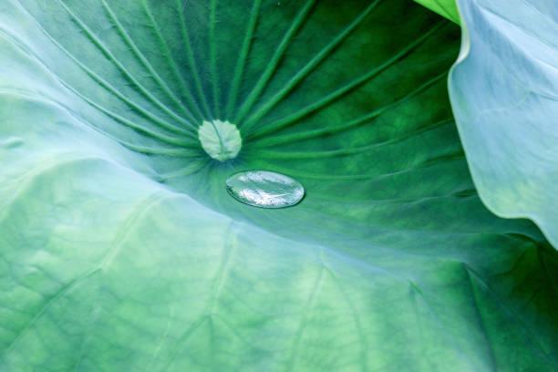 Nahaufnahme eines Wassertropfens auf grüne Lotusblatt – Foto