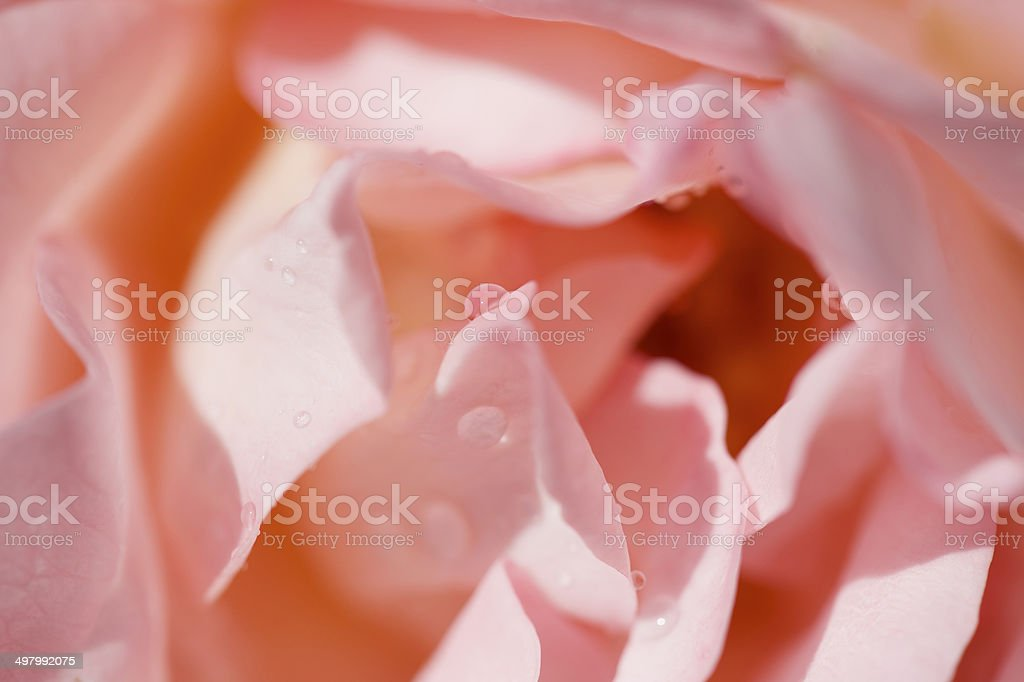 Close up of water drops on pink rose head stock photo