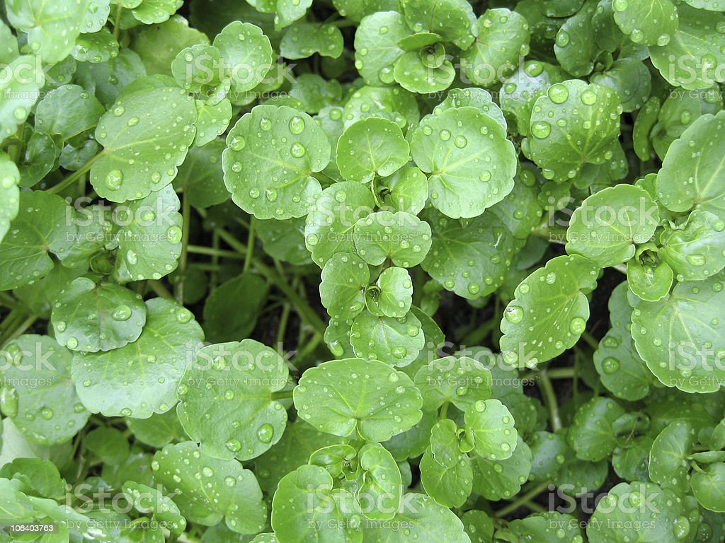 Close up of watercress with water droplets on leaves  stock photo