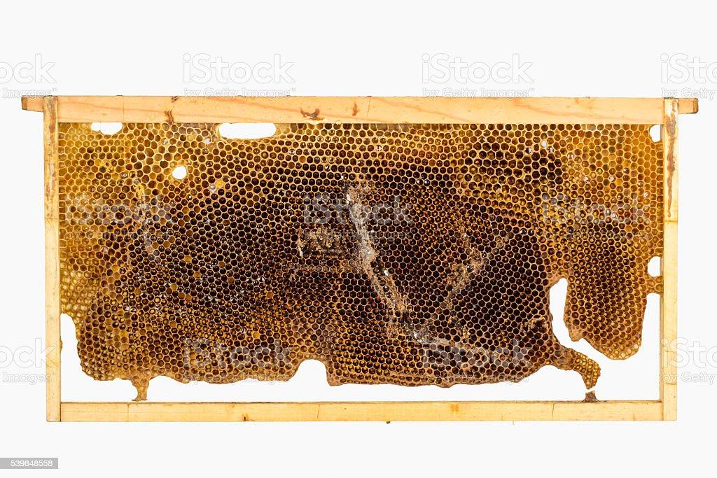 Close up of wax moth larva damage stock photo