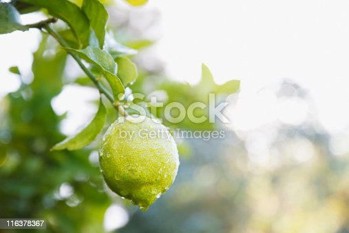 Spring in full view. Citrus plant in a row