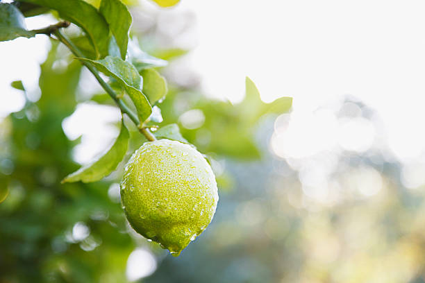 Close up of wet lime on branch  lime stock pictures, royalty-free photos & images
