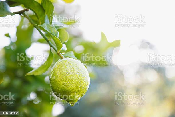 Photo of Close up of wet lime on branch