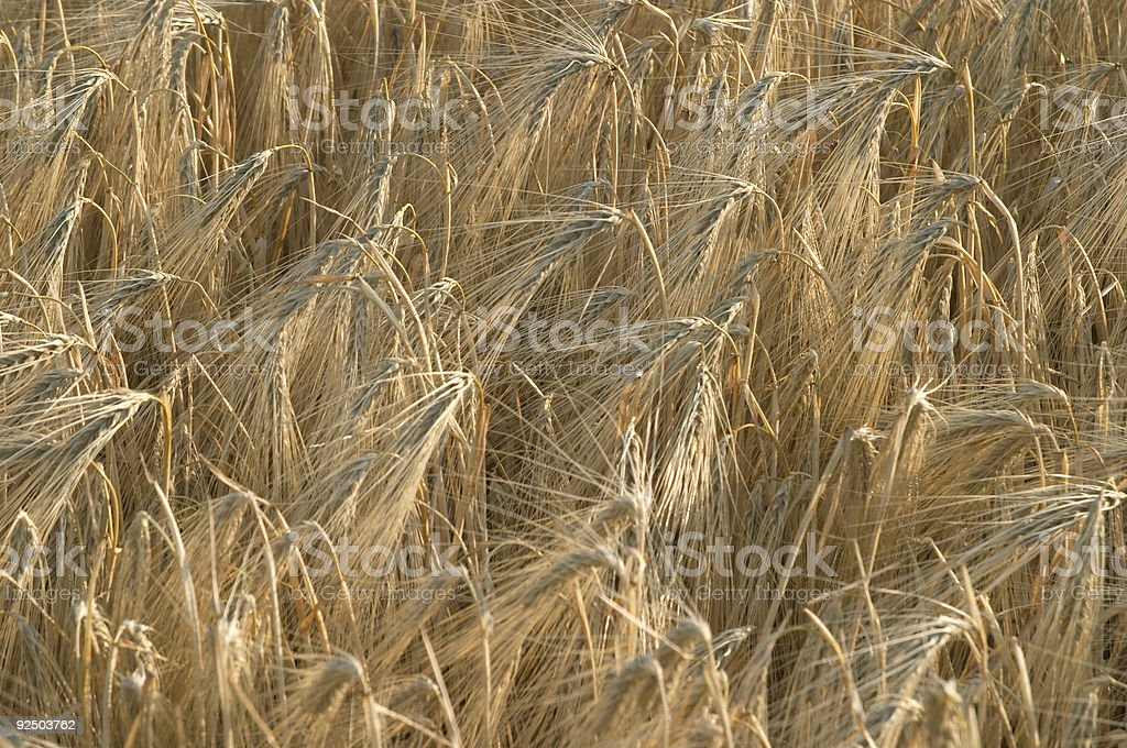 Close up of wheat ear royalty-free stock photo