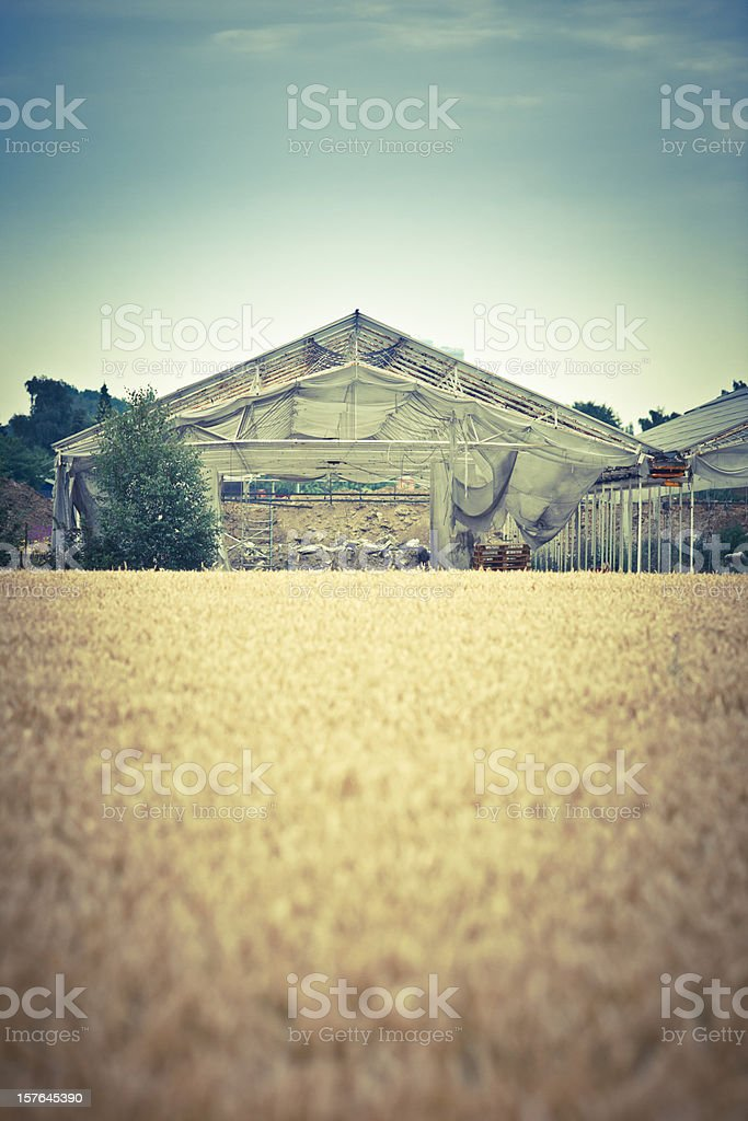 Close up of wheat field royalty-free stock photo