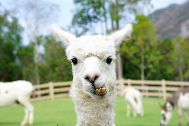 Close up of White Alpaca Looking Straight Ahead in the beautiful green meadow, It's curious cute eyes looking in the camera. - foto de stock