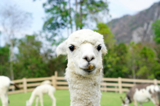 Close up of White Alpaca Looking Straight Ahead in the beautiful green meadow, It's curious cute eyes looking in the camera. stock photo