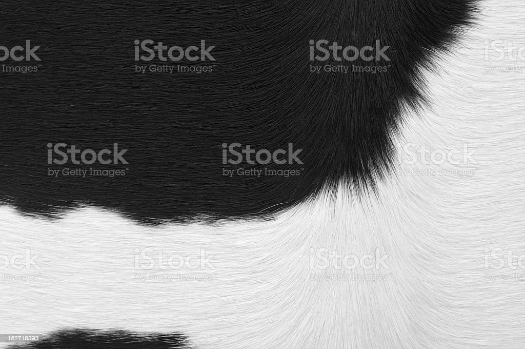 Close up of white and black dairy cow stock photo