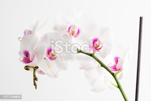 Close up of white and vivid pink Phalaenopsis orchid flowers in full bloom isolated on white studio background photographed with soft focus
