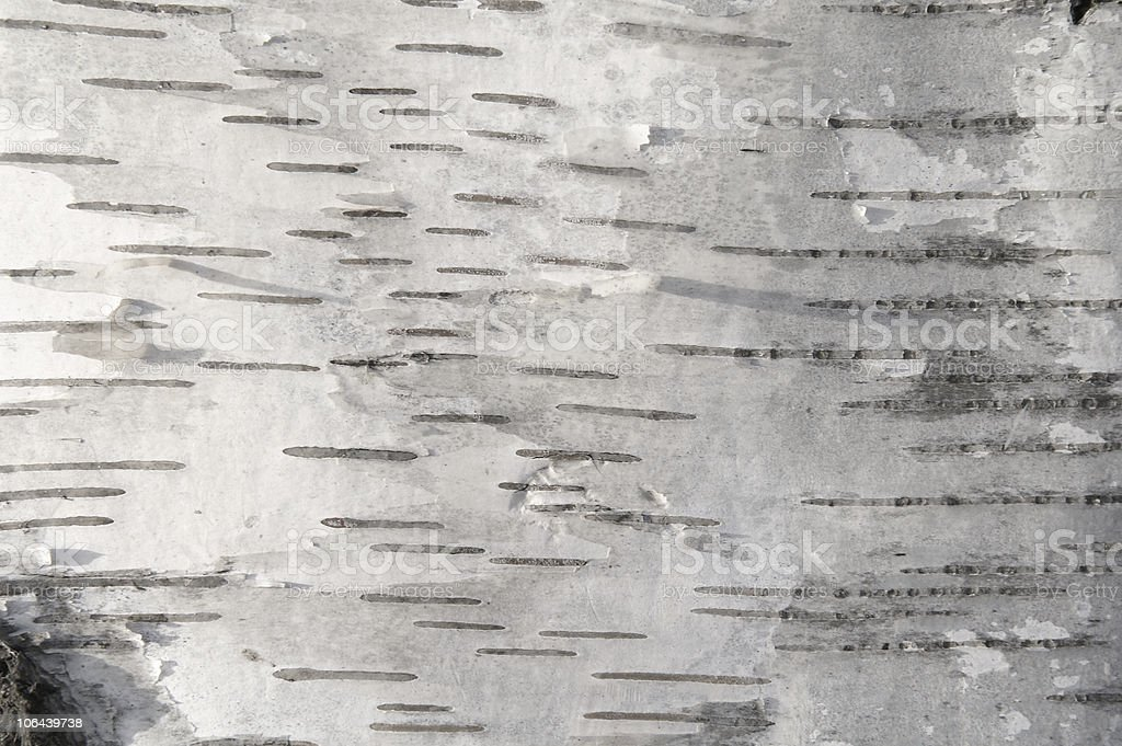 Close up of white birch bark stock photo