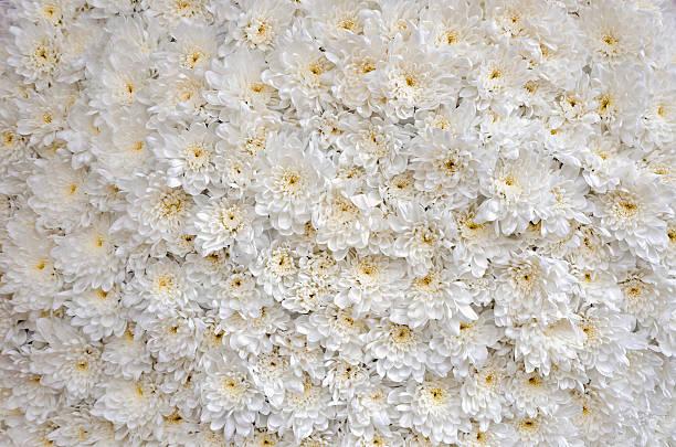 nahaufnahme des weißen blühte chrysanthemums betten - pumphose stock-fotos und bilder