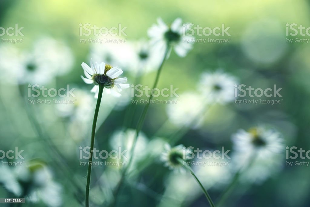 Close up of white chamomile in a field stock photo