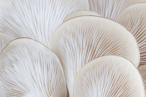 Macro of the gills of the oyster mushroom (Pleurotus ostreatus). Photo taken from below showing the gills on the underside of this edible mushroom. Shallow depth of focus with sharpest focus on the the gills at the center of the image. Shot with 100 mm macro lens on a Canon 20D at ISO 100.