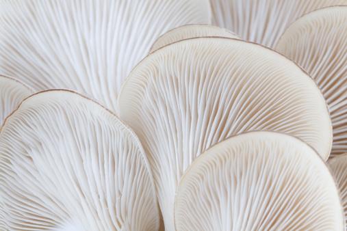 Close Up Of White Colored Oyster Mushroom 照片檔及更多 Basidiomycota 照片