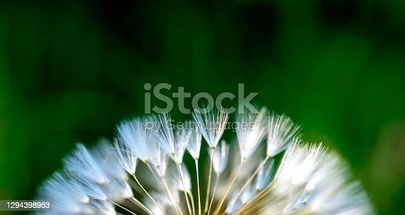 white dandelion flower fluffy blowballs on green natural background.