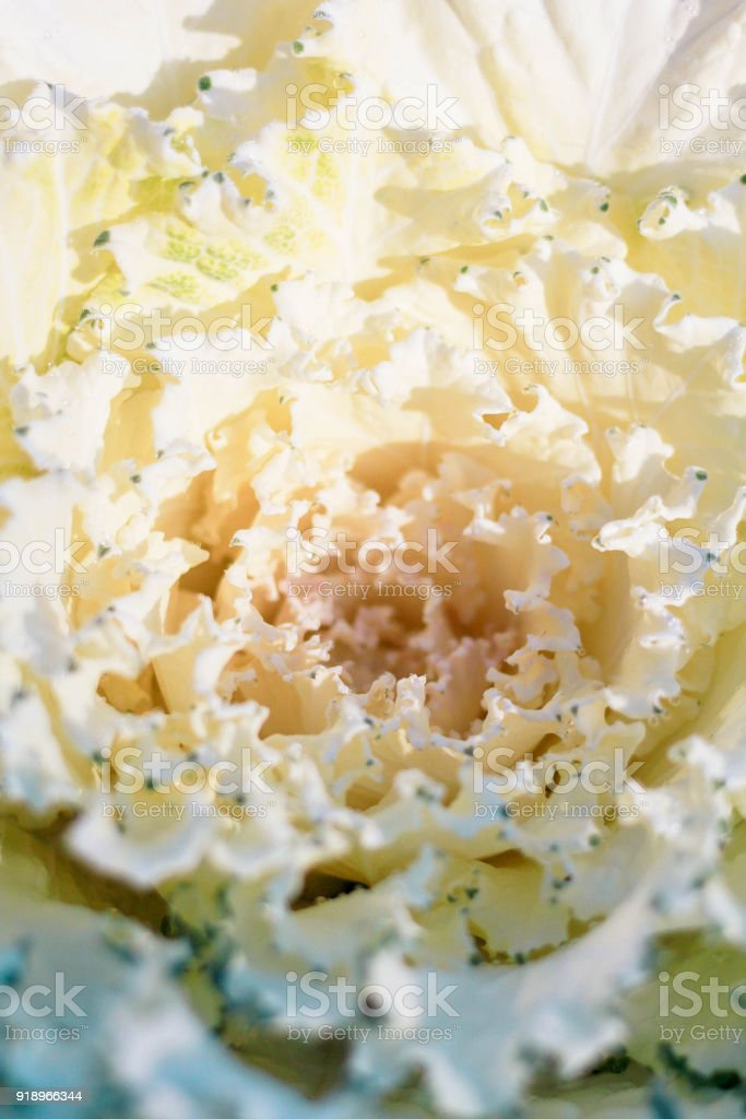 close up of white decorative cabbage or kale stock photo