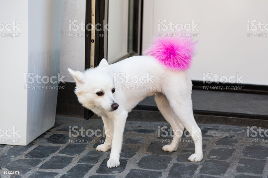 Close up of white dog with fluffy pink tail on street outdoors stock photo