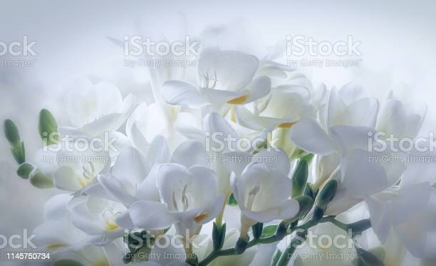Close up of white freesia flowers on a white background picture id1145750734?b=1&k=6&m=1145750734&s=612x612&h=dr13sa fgu pfh0sz kpo xnzxxqxwnt4gdo16shsyo=