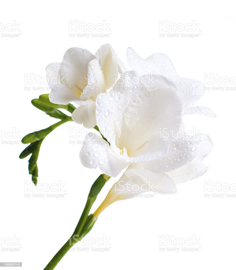 Close up of white freesia圖像檔