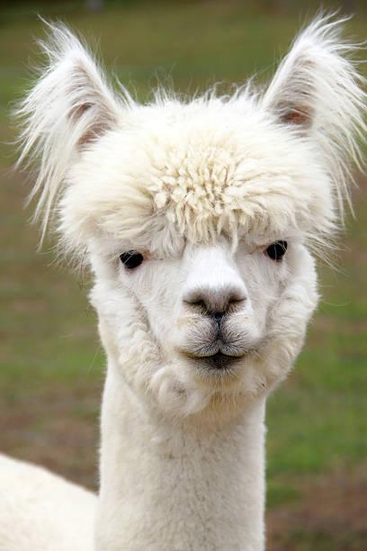 blanco de alpaca - alpaca fotografías e imágenes de stock