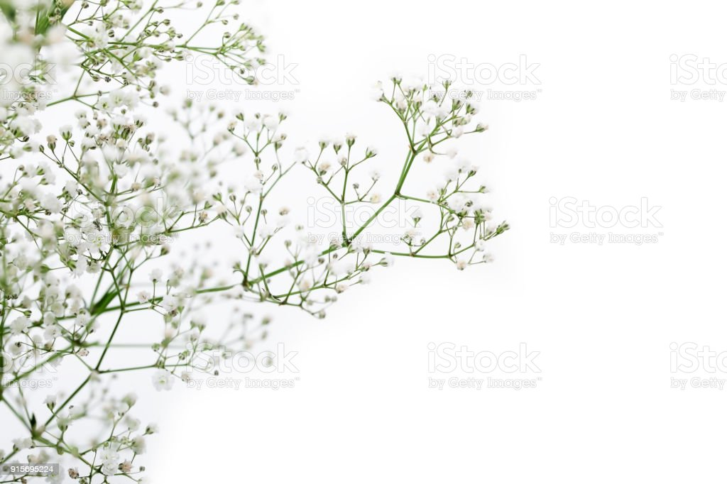 close up of white gypsophila flower isolated on white background and copyspace. stock photo