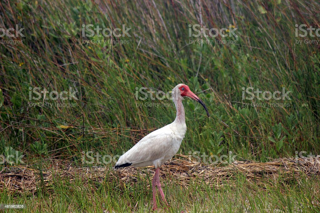 Close Up of White Ibis Strutting in Marsh stock photo