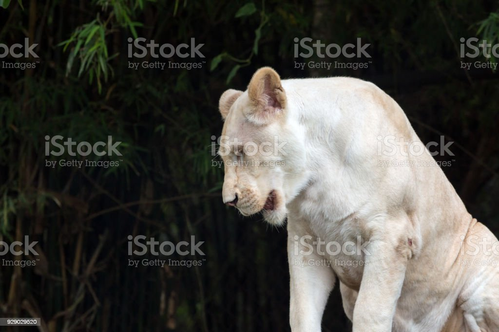 Close up of white lion sitting on wood and looking down at something stock photo