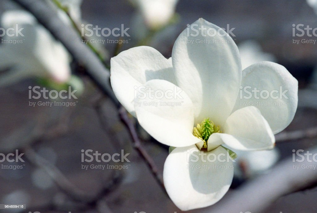 Close up of white magnolia flowers on branch. Shot on film royalty-free stock photo