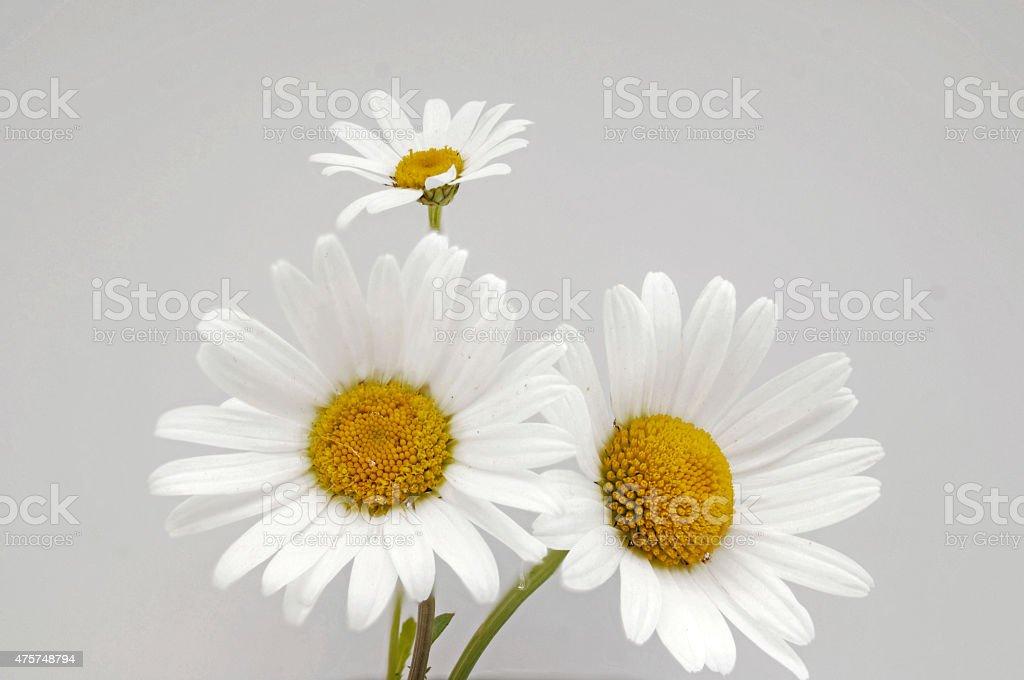 Close up of white marguerites stock photo