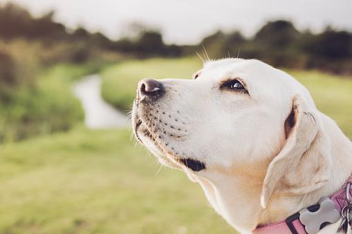 Close up of White Mature Labrador Retriever smelling air