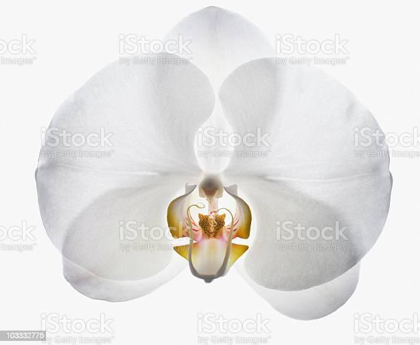 Close up of white orchid picture id103332775?b=1&k=6&m=103332775&s=612x612&h= ecidcyyyyugjonvajpyn5 hbh5l6zcuhyrub2jkz5m=