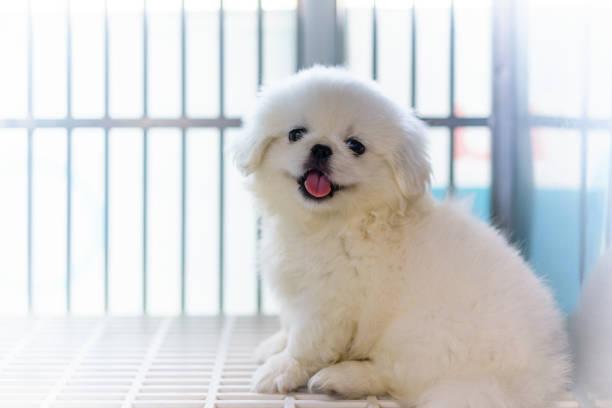 Close up of white pekingese puppy sitting in the cage at the animal picture id921519022?b=1&k=6&m=921519022&s=612x612&w=0&h=ysust66miqcxr2stdj100zmqqloslzdukwppg21mxpa=