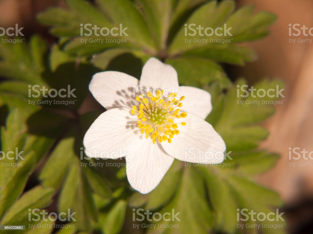 Close Up Of White Wood Anemone Flower Petals Beautiful Spring Stock