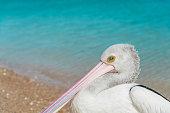 Wild Australian pelican (Pelecanus conspicillatus) standing on the shore of a beach. Monkey Mia, Western Australia