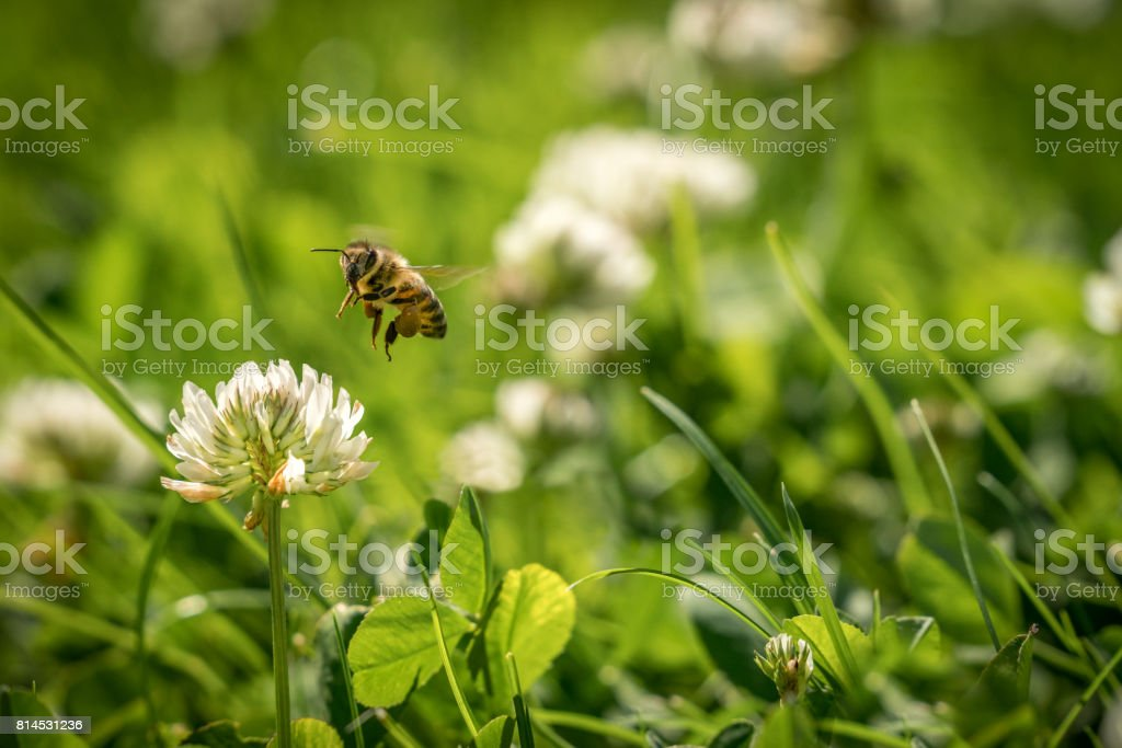 Close up of wild bee in mid-air next to a clover flower. royalty-free stock photo