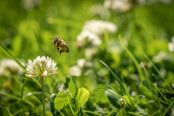 Close up of wild bee in mid-air next to a clover flower. stock photo