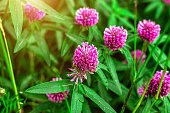Close up of wild blossoming pink and red clover (Trifolium pratense) flower on green leaves background on meadow in summer. Soft selective focus fotography.