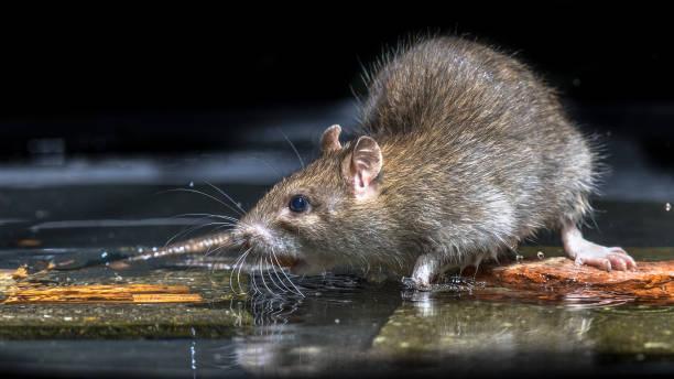 Gros plan du rat brun sauvage dans l'eau - Photo
