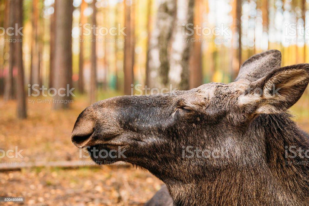 Close up of wild female moose, elk stock photo