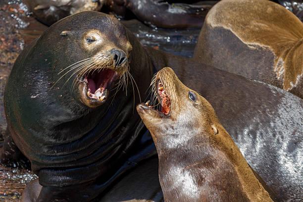 Close up of Wild Sealions barking stock photo