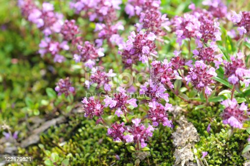 Wild Thyme or Creeping Thyme. typical alpine plant. Spice. thymus serpyllum.
