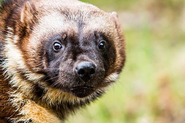 close up of wolverine face - rosomak zdjęcia i obrazy z banku zdjęć