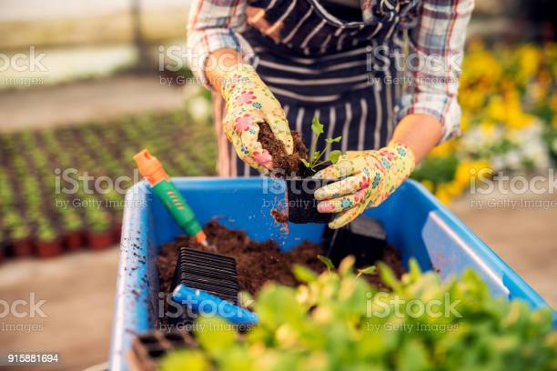 Close up of woman florist hands transplants a flower to a flower pot picture id915881694?b=1&k=6&m=915881694&s=612x612&h=bz 3dpvbblb5yf3zhsexl1zea k8m4 3z hmizzijk4=