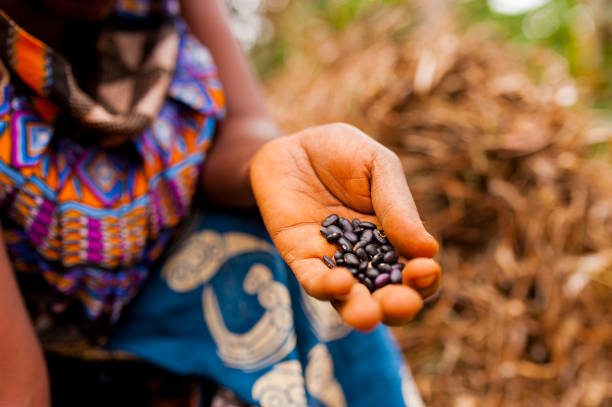 close up of woman in traditional african clothes holding black beans while working in farm in the contryside stock photo